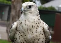 Roofvogelmiddag op zaterdag bij valkenier Albert Loomans